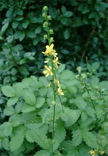 Agrimonia, una de las plantas medicinales con las que elaboramos nuestros productos naturales.