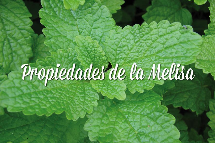 Propiedades y beneficios de la melisa el blog de el - Planta de melisa ...