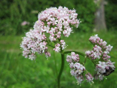 flor valeriana