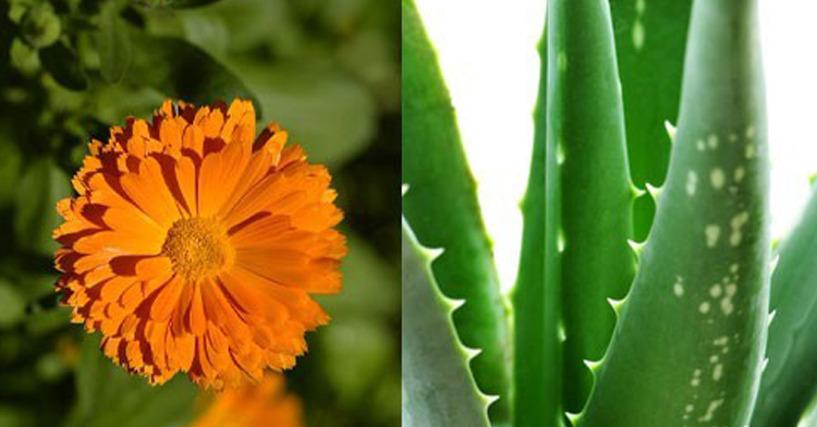 Care for your skin with aloe vera and calendula